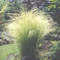 La Stipa est une plante vivace fortement appréciée pour la délicatesse et la finesse de son feuillage, typique des graminées, offrant un aspect de légèreté incomparable et bougeant au gré du vent.