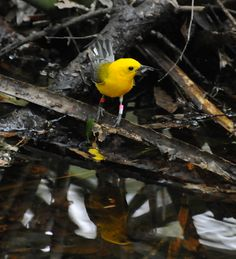 Prothonotary Warbler at Audubon's  Francis Beidler Forest