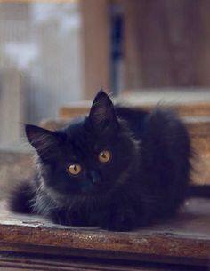 Adorable fluffy back cat