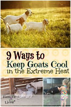 Are you looking for ways to keep goats cool in hot weather? Here are 9 easy ways to help prevent heat strokes or conditions in your goat herd. Keeping Goats, Raising Goats, Goat Playground, Goat Shelter, Goat Pen, Goat Care, Boer Goats, Nigerian Dwarf Goats, Goat Farming