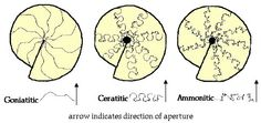 Description of the suturelines occurring in goniatites, ceratites and ammonites. Ammonite, Geology, Vintage World Maps, Personalized Items, Dinosaurs, Sailor, Anatomy, Earth Science