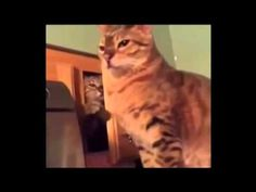 Cat Attacks : Hilarious Cat Ambushing His Buddy - He Never Saw It Coming - - YouTube