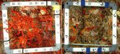 ¿Cómo eran las poblaciones de coral rojo en el Mediterráneo antes de la sobreexplotación pesquera?