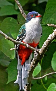 The Cuban Trogon, or Tocororo, lives on the Caribbean island of Cuba, where it is also the national bird.