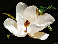 Magnolia, state flower of Mississippi