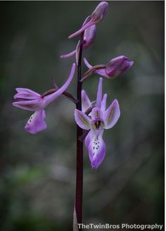 Orchis troodi
