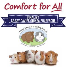 Comfort for All Finalist Crazy Cavies Guinea Pig Rescue