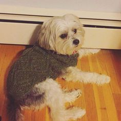 Favorite sweaterfavorite spot by the heater #maltese #yorkie #maltesepuppy #dogsofinstagram #cutedogs #instapet #dogoftheday #dogstagram #puppiesofinstagram #puppylove #cutepuppy #lovedogs #animallover #yorkiepuppy #terrier #instadog #instapuppy #tagsforlikes by bowiegotback bit.ly/teacupdogshq