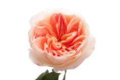 Light Peach Garden Rose - Juliet   from @Olga Moroz Muse   http://www.flowermuse.com