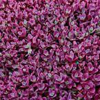 Firecracker Sedum An Explosion of Burgundy-Red excellent ground coverage that prevents weeds