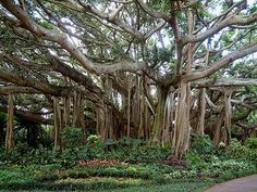 Banyan Trees at Cypress Gardens, Winter Haven, FL. (Now Legoland)