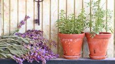 Majorán môžete pestovať v záhrade aj v nádobe na balkóne.