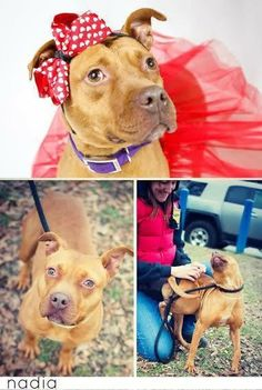 Meet Nadia, a Petfinder adoptable Terrier Dog | Baltimore, MD | Hi! My name is Nadia and I am a mixed breed 2 years of age! I am very sweet and playful, and I love...