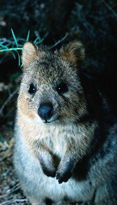 Der Quokka lebt in Australien und ist eine Art kleines Känguru. Mehr Bilder gibt es hier: http://www.travelbook.de/welt/Beuteltier-ist-der-Hit-im-Netz-Neuer-Touri-Trend-Selfie-mit-Quokka-618062.html