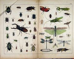 Schubert Nature Print 1878 Insects Beetle Fly Colour