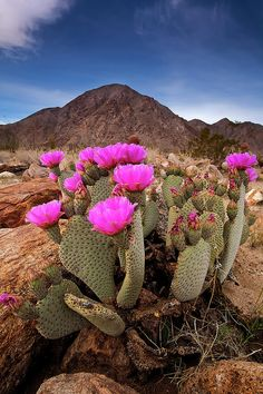recent Pics blooming cactus plants Concepts Succulents and cactus include the ideal residence decoration for minimalists in addition to development sette Cactus Blossoms, Cactus Flower, Flower Pots, Desert Cactus, Desert Plants, Cacti And Succulents, Cactus Plants, Wildflower Drawing, Beautiful Flowers Wallpapers