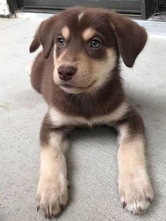 Meet Miko a Labsky puppy, half labrador and half husky.  Those are some awesome puppy eyes! #barkinglaughs #cutepuppyeyes