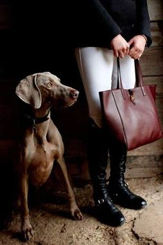 Foto. Weimaraner waiting for the hunt. #animals #dogs