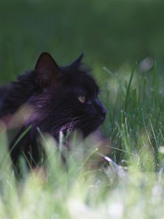 Baer, Black Norwegian Forest Cat - Photography by Thompson S.