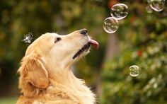Golden Retriever catching bubbles ♡