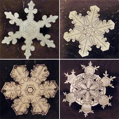 These are real snowflakes! Photographed by Wilson A. Bentley who was the first person to capture the image  of a single snowflake with a camera!