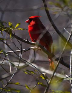 Red Cardinal In A Tree 1