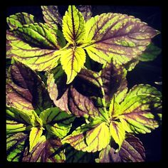 Coleus 'Gay's Delight' - a 'must' in the Fishingham Garden | 06.07.12 | Photo by Jeff Fisher