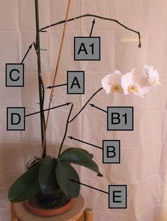 Come potare un'orchidea Phalaenopsis nel modo corretto: informazioni e consigli pratici su come eliminare steli, foglie, fiori e radici. Water Garden, Garden Plants, House Plants, Indoor Bonsai, Indoor Plants, Chlorophytum, Lavender Garden, Plant Care, Ikebana