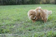 Friends. <3 Fawn chow chow and chow chow puppy.