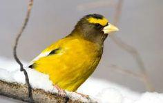 Winter Surprises: Seasonal bird irruptions bring new visitors to the backyard.