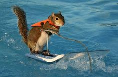 Twiggy,the water skiing squirrel