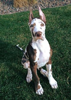 Silas at 3 months, already huge.  #great dane puppy #harlequin #pointy ears