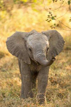 Baby elephant in Botswana . - Alexandra Hausmann - Baby elephant in Botswana . Baby elephant in Botswana More - Photo Elephant, Cute Baby Elephant, Elephant Pics, Elephant Stuff, Elephant Quotes, Happy Elephant, Funny Elephant, Baby Rhino, Baby Elephant Pictures