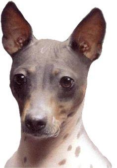 American Hairless Terrier Club of America