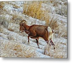 Nature Metal Print featuring the photograph Yellowstone Ram by Bill Hayes