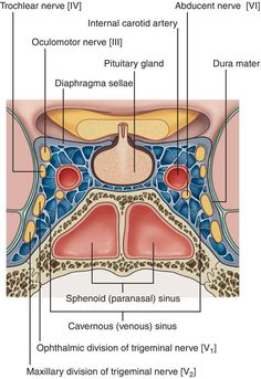 """The cavernous sinus is the blue part. In real life, they apparently call it """"cavernous"""" because it's sort of spongy, like a cavern (? It's also where the carotid artery and nerve VI go through the skull, so it acts like a spongy conduit. Nerve Anatomy, Brain Anatomy, Medical Anatomy, Anatomy And Physiology, Human Anatomy, Internal Carotid Artery, Medical Dictionary, Gross Anatomy, Pharmacology Nursing"""