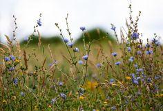 Chicorée sauvage (Cichorium intybus) : dépurative et prébiotiques Free Pictures, Free Photos, Free Images, House On A Hill, Watercolor And Ink, Wild Flowers, Leaves, Landscape, Garden