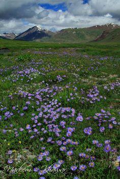 Flowers at Deosai National Park. Northern Pakistan.