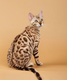 5. Bengals can learn tricks.