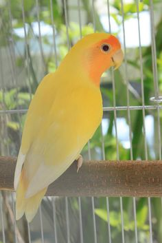 OrangeFace American Lutino. The feet, claws and beak are pink salmon, and the eyes are red.