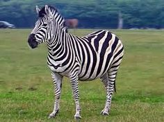 Hilarious Zoo Keeper Dressed As Zebra - Watch What He Does Next Happy Animals, Farm Animals, Cute Animals, Zebra Pictures, Funny Animal Pictures, Zebras, Zebra Costume, Mountain Zebra, Plains Zebra