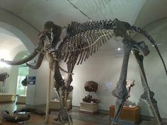 Mammut al Museo di paleontologia di Firenze