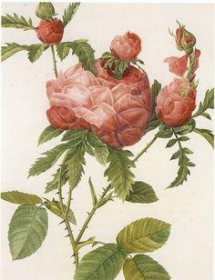 Centiflora Rose by shanta,Botanical Illustration via Flickr