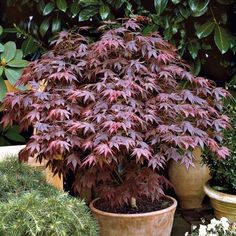 Hardy shrubs for planting pots - Bepflanzung Container Flowers, Container Plants, Container Gardening, Lawn And Garden, Garden Pots, Pruning Japanese Maples, Pot Plante, Fall Planters, Evergreen Shrubs