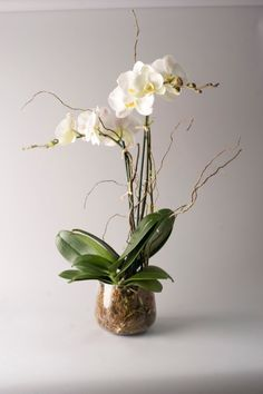 ghetty orchid flowers and plant  collection.com   Rare and exotic orchids are elegant gifts