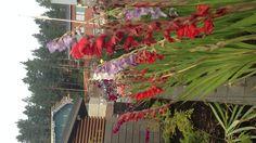 Gladiolukset ovat nyt kukkeimmillaan. Ennen pakkasten tuloa kerään mukulat kellariin.