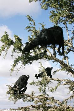 The Tree Climbing Goats Of Morocco This Is Cray Cray