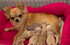 Small hobby breeder of AKC Chihuahuas, bred for good health, temperament, and show quality. Chihuahua Breeders, Cute Chihuahua, Chihuahuas, Puppies, Mans Best Friend, Best Friends, Love People, My Baby Girl, Small Dogs