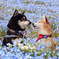 Takayuki The Shiba Inu Animals And Pets, Baby Animals, Funny Animals, Cute Animals, Smiling Animals, Shiba Inu, Cute Puppies, Cute Dogs, Dogs And Puppies