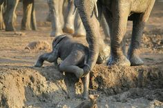 "beautiful. .!! It's melts me ..Credit : @rhinoafrica - #WorldElephantDay #AfricasPhotographerOfTheYear - Photo by Nadja Zoe Landert RSA ""Elephant mother helping her calf up a slope. Captured in Kruger National Park."" . . For info about promoting your elephant art or crafts send me a direct message @elephant.gifts or email elephantgifts@outlook.com . Follow @elephant.gifts for beautiful and inspiring elephant images and videos every day! . #elephant #elephants #elephantlove"
